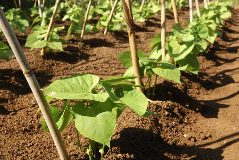 How Many Green Beans Per Plant