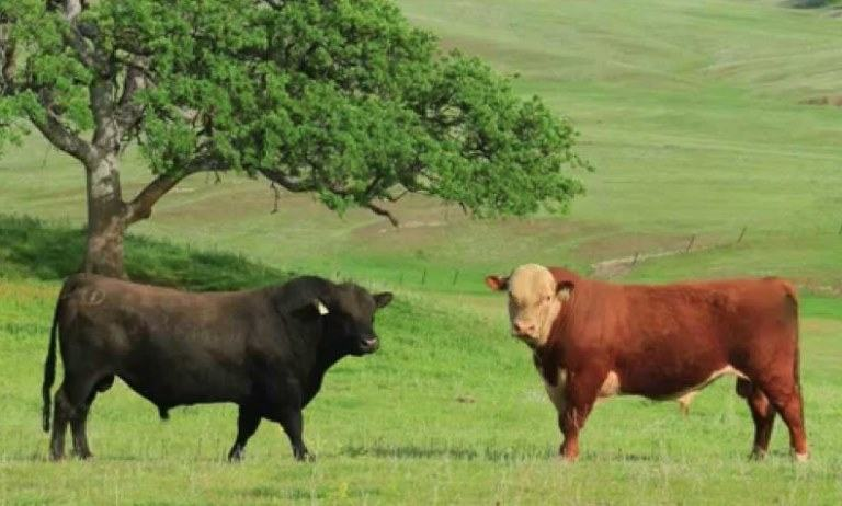 hereford vs angus cattle