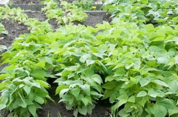 highest yield green beans plant