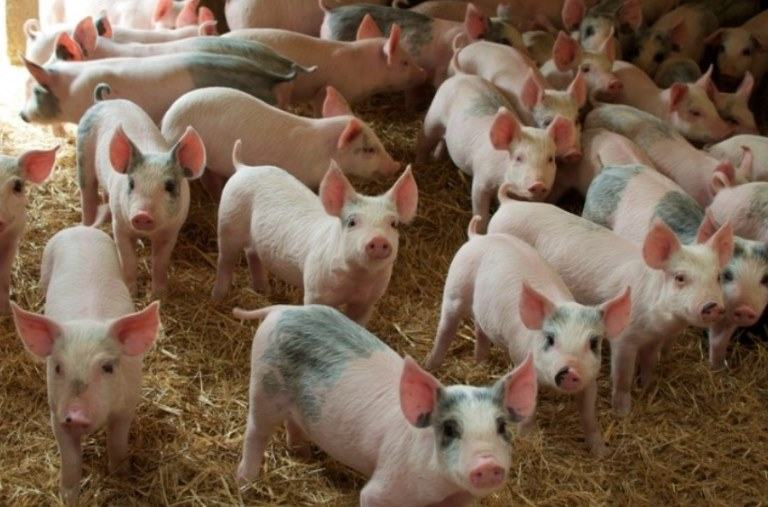 What is a group of pigs called