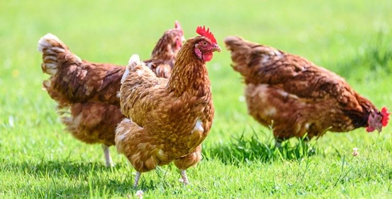 Are Chickens Cold-blooded Or Warm-blooded