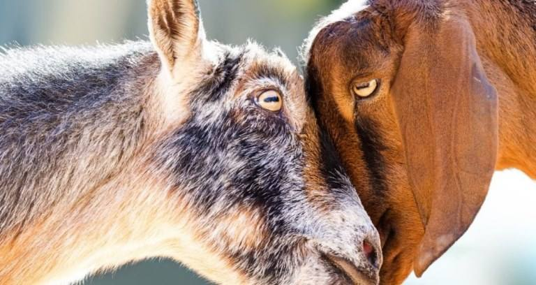 How Do Goats Show Affection