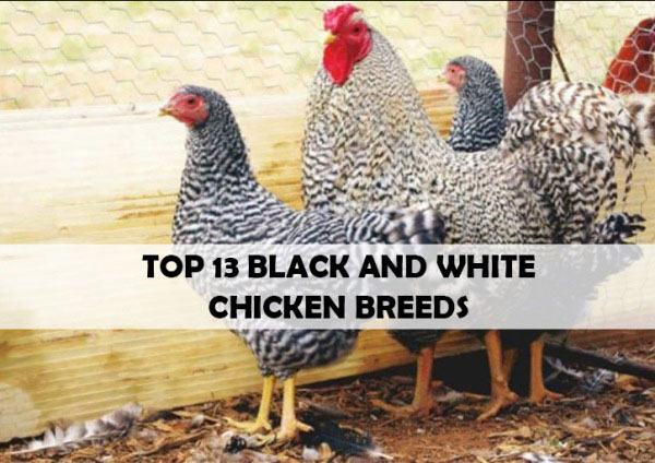 black and white chicken breeds