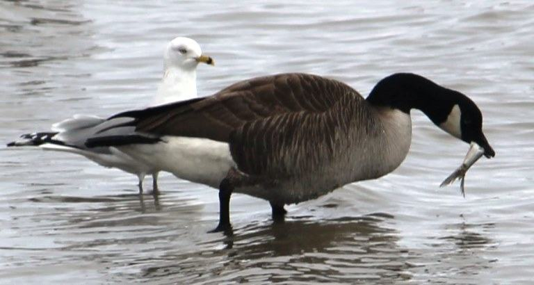 do geese eat fishes