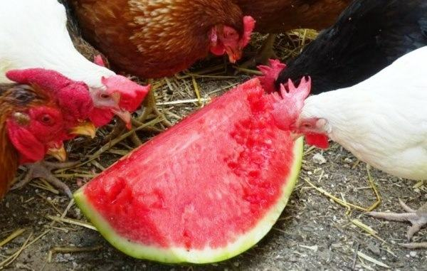 fresh watermelon for chickens