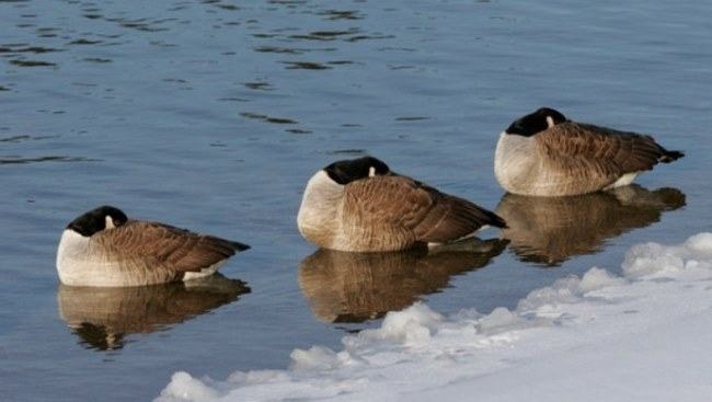 geese sleep on water surface