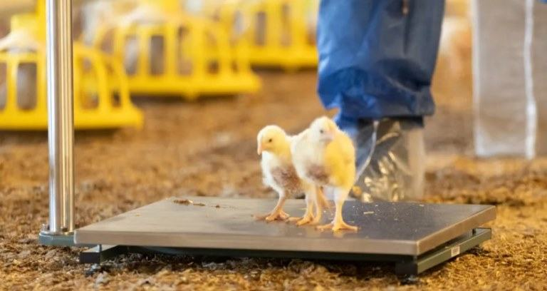 how much do chickens weigh