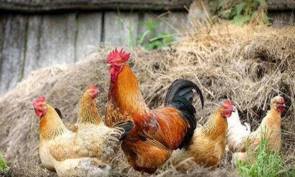 keep roosters in your flock