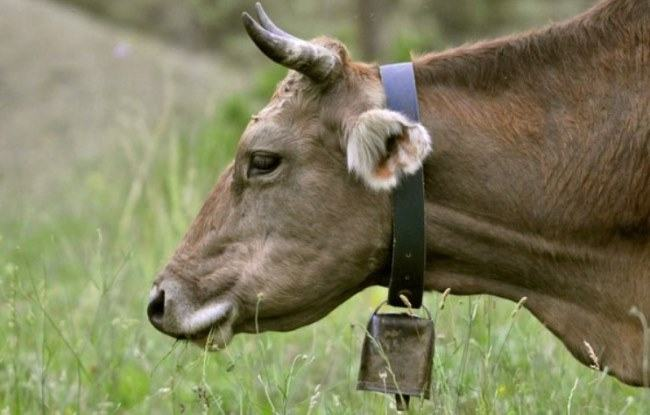 why do cows have bells
