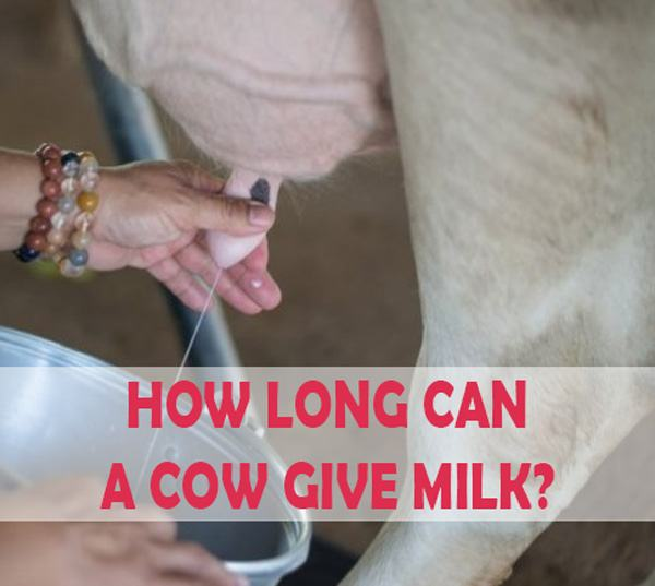 How long can a cow give milk