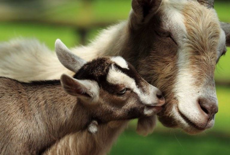 when to wean goats