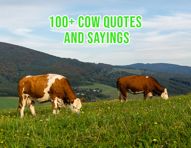 Famous, Funny Cow Quotes & Sayings