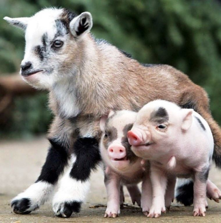 can pigs and goats live together