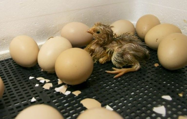 what to feed baby chicks after hatching