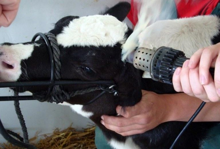 dehorning cow