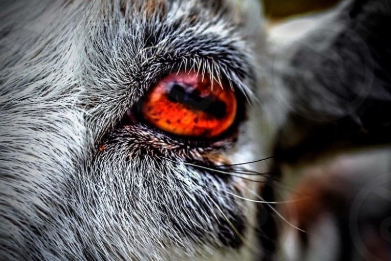 fact about goat eyes