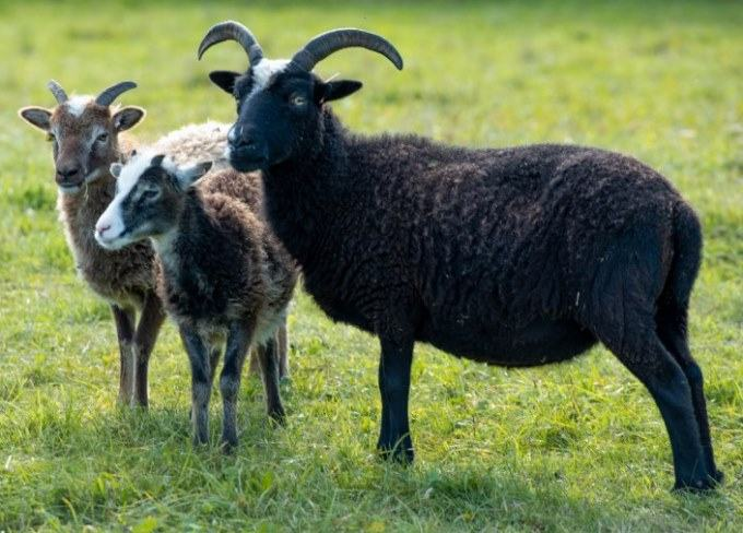 a flock of soay sheep