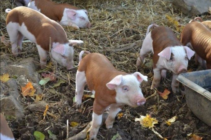baby hereford pigs
