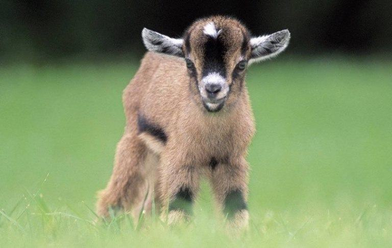 what is baby goat called