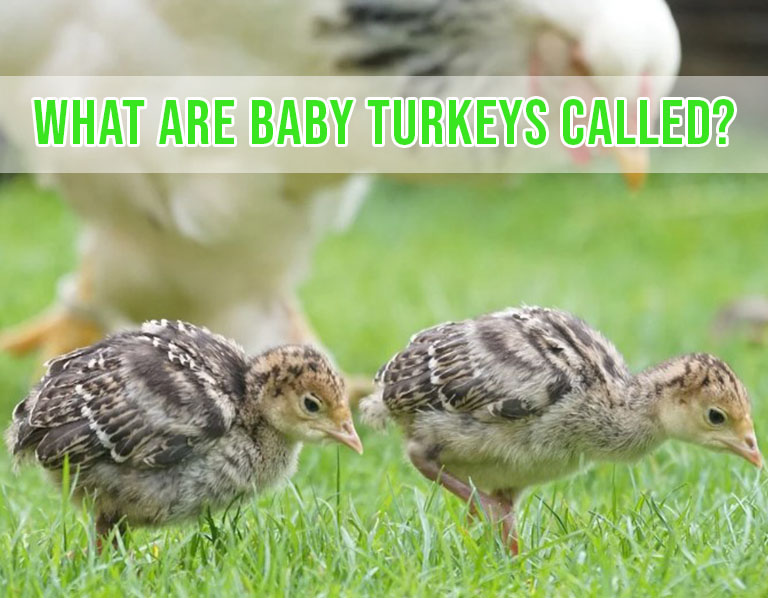 What Are Baby Turkeys Called