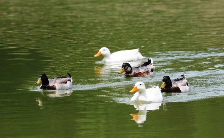 group of swimming ducks on water