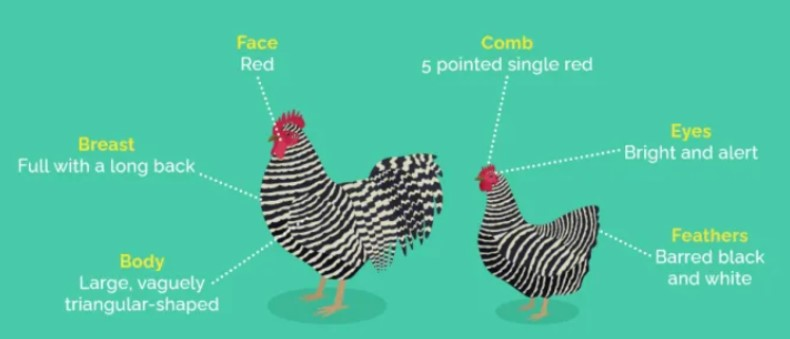 Difference Between Barred Rock Rooster and Hen