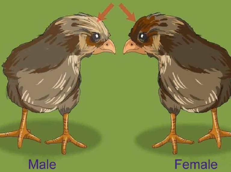 Sex A baby Chicks by comb