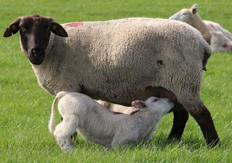 baby sheep drink milk from mother