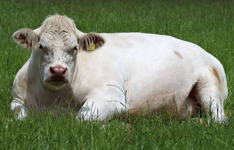 how long do cows live