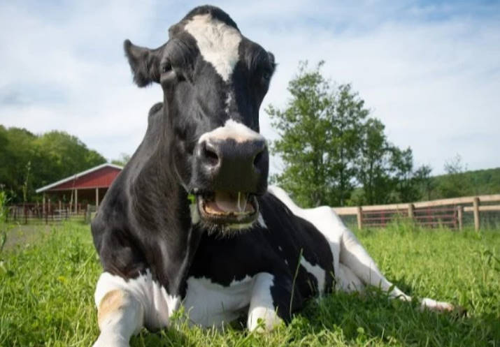 old dairy cow