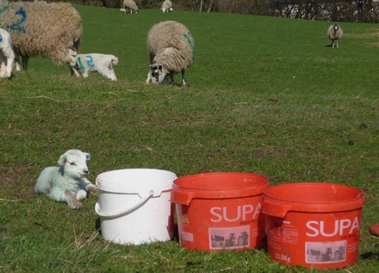 supplements for sheeps